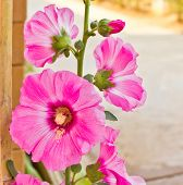 Hollyhock Flower In Thailand