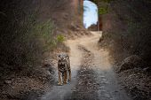 Wild Male Bengal Tiger Ranthambore Coming Head On To Our Safari Vehicle From Historical Gate In Back poster