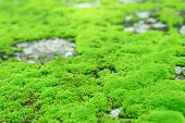 Beautiful Green Moss On The Floor Wet, Closeup Beautiful Bright Green Moss In  Garden With Stones. poster