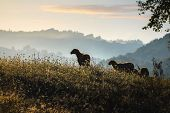 Close Up Of Sheep In Sunrise In Nature. Amazing Nature. Close Up Of A Sheep In Nature. Sheep In Sunr poster