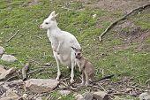 The Albino Western Kangaroo Is Looking After Her Brown Joey poster