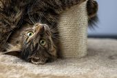 Siberian, Brown Cat Played With A Scratching Post On A White Background poster