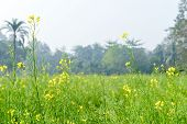 Green Yellow Canola Field And Tree In A Scenic Agricultural Landscape In Rural Bengal, North East In poster