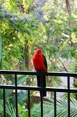 King Parrot On My Veranda Fence. Australia. poster