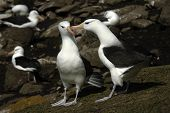 image of albatross  - The most beautiful Albatross of the World, photographed at the Falkland Islands and South Georgia