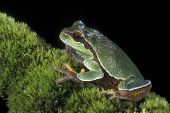 Pine Barrens Tree Frog On Moss