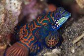 Colorful Mandarinfish With Ornate Markings