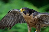 Captive Peregrine Falcon Spreads Its Wings For Balance At The Raptors, Duncan, British Columbia. poster
