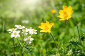 Beautiful Yellow Wild Flower On A Green Background With Other Flowers. Yellow Flower Caltha From The poster