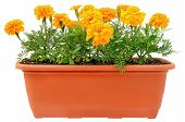 Tagetes Flowers In Balcony Flowerpot