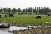 foto of wallow  - View of buffaloes in a muddy water - JPG