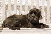 Dark Scottish Terrier Lazing On A Bench