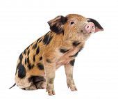 picture of piglet  - Oxford Sandy and Black piglet - JPG