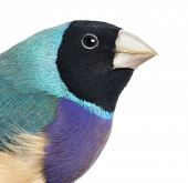 Close-up of a Gouldian Finch, Erythrura gouldiae, against white background