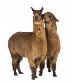 Alpaca whispering at another Alpaca's ear against white background