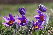 Purple Pulsatilla Grandis