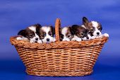 picture of epagneul  - Five Papillon Puppies - JPG
