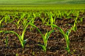 stock photo of corn  - Rows of sunlit young corn plants on a moist field - JPG