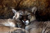 Animal Cougar Puma