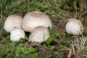 Ripe Field mushroom on the Meadow, Agaricus campestris