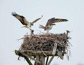 Ospreys Building Their Nest, Jamaica Bay, Queens, Ny