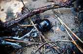 foto of oryctes  - beetle in its natural environment in the forest - JPG