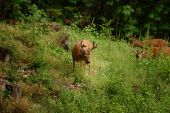 Young Black-tailed Deer