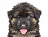 picture of hairy tongue  - German shepherd puppy - JPG