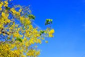 stock photo of cassia  - Cassia Fistula in clear blue sky - JPG