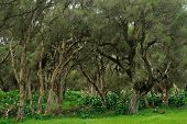 pic of arum  - arum lilies blooming through lush grove of Melaleuca trees - JPG