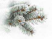 stock photo of conifers  - Evergreen branch covered with snow  - JPG