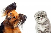 stock photo of toy dogs  - Toy terrier dog and a cat on a white background - JPG