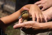 Child Picking Up Baby Duck