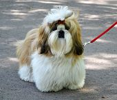 stock photo of dog breed shih-tzu  - Shih Tzu dog nature animal ribbon pet - JPG