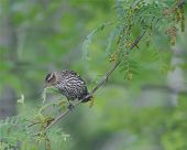 Ovenbird 1
