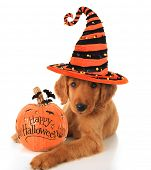 stock photo of witch  - Cute Halloween puppy with a pumpkin - JPG