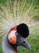 Crowned Crane (head, Right Side)