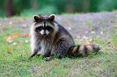foto of raccoon  - Raccoon in park in Montreal Canada - JPG