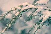 Snow Covered Hemlock Branch - Retro
