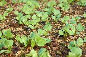 stock photo of germination  - Young green radish plants germinated in soil partially covered with sawdust - JPG