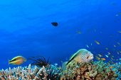 picture of hawkfish  - Hawkfish on coral - JPG