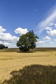 Summer Landscape With Old Oak In A Field