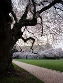Brick Road Goes By Blooming Cherry Tree In Campus