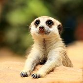 stock photo of meerkats  - Meerkat in open zoo of Thailand  - JPG