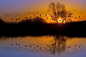 stock photo of fowl  - Reflection of Canadian geese flying over wildlife refuge on an orange and purple sunset San Joaquin Valley California - JPG