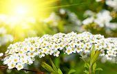pic of meadowsweet  - White Spiraea  - JPG
