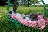 foto of mini lop  - Holland Lop baby rabbit and Mini Rex Baby rabbit in a basket outside with blue skies and green grass - JPG