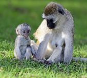 picture of omnivore  - Vervet monkey (Chlorocebus pygerythrus) at a Nature Reserve in South Africa