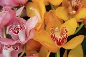 Pink And Yellow Cymbidium Orchids