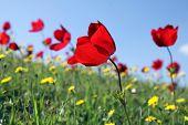Anemones Bloom
